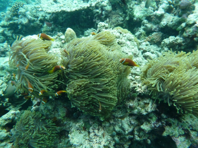 Peixe Palhaço das Maldivas. Só os de lá tem 1 listra.